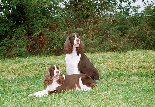 DOG 02 JN0021 01 © Kimball Stock Two English Springer Spaniels On Grass Field