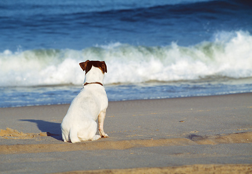 DOG 02 JN0027 01 © Kimball Stock Back View Of Jack Russell Terrier Sitting On Beach