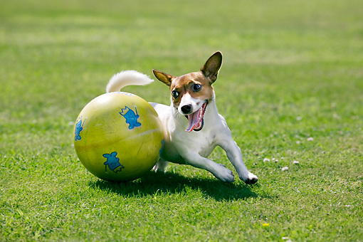 DOG 02 JS0001 01 © Kimball Stock Jack Russell Terrier Playing With Ball On Grass Field