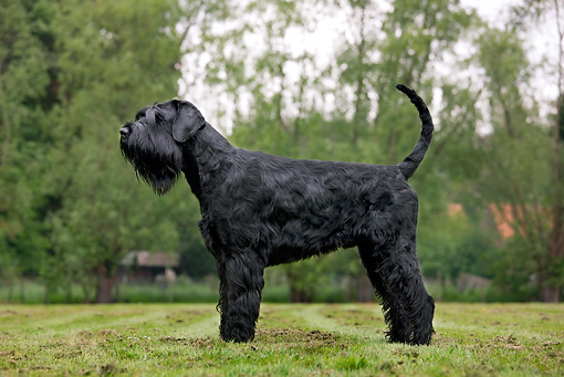 DOG 02 JS0002 01 © Kimball Stock Giant Schnauzer Standing On Grass Field Profile