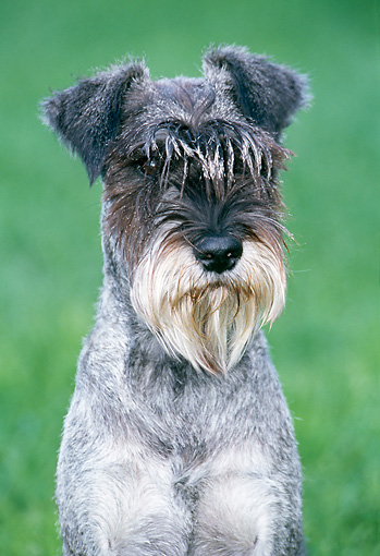 DOG 02 JS0006 01 © Kimball Stock Portrait Of Miniature Schnauzer Sitting On Grass