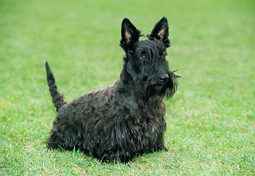 DOG 02 JS0007 01 © Kimball Stock Scottish Terrier Sitting On Grass Field