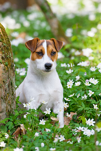 DOG 02 KH0047 01 © Kimball Stock Jack Russell Terrier Sitting In Anemones In Woods