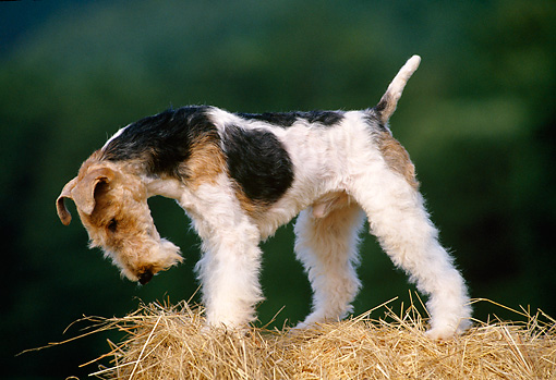 DOG 02 KH0049 01 © Kimball Stock Fox Terrier Standing On Bale Of Hay Looking Down Profile