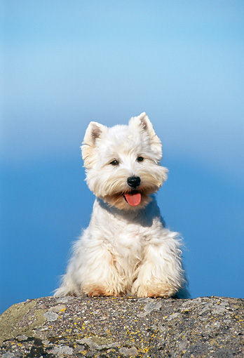 DOG 02 KH0051 01 © Kimball Stock West Highland Terrier Sitting On Rock