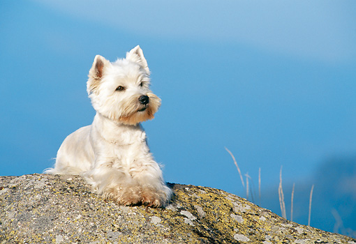 DOG 02 KH0052 01 © Kimball Stock West Highland Terrier Laying On Rock