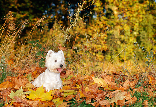 DOG 02 KH0054 01 © Kimball Stock West Highland Terrier Sitting In Leaves