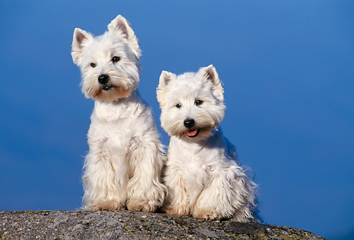 DOG 02 KH0055 01 © Kimball Stock West Highland Terriers Sitting On Rock