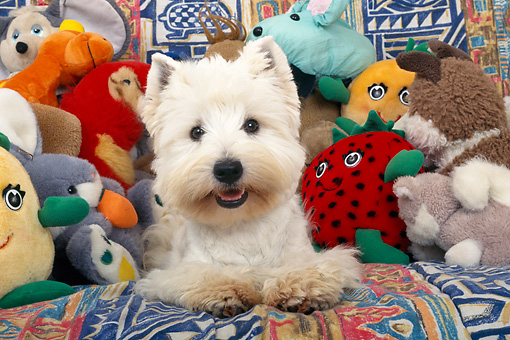 DOG 02 KH0057 01 © Kimball Stock West Highland Terrier Laying In Pile Of Stuffed Animals