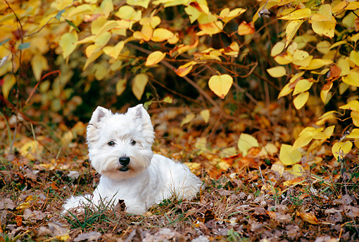 DOG 02 KH0061 01 © Kimball Stock West Highland Terrier Laying In Fallen Leaves And Grass