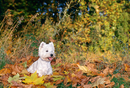 DOG 02 KH0063 01 © Kimball Stock West Highland Terrier Sitting In Fallen Leaves And Grass