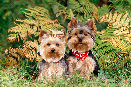 DOG 02 KH0066 01 © Kimball Stock Two Yorkshire Terriers Sitting On Grass By Ferns
