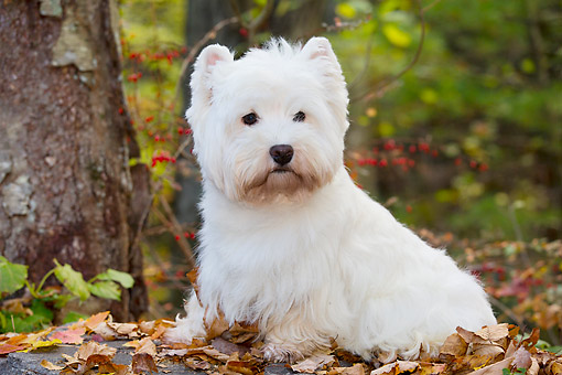 DOG 02 LS0001 01 © Kimball Stock West Highland Terrier Sitting On Autumn Leaves