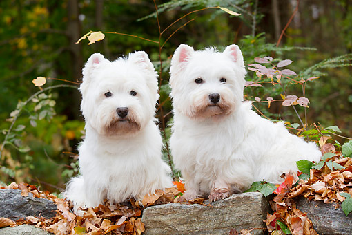 DOG 02 LS0002 01 © Kimball Stock Two West Highland Terriers Sitting On Autumn Leaves