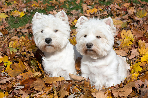 DOG 02 LS0003 01 © Kimball Stock Two West Highland Terriers Sitting In Autumn Leaves