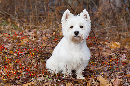 DOG 02 LS0006 01 © Kimball Stock West Highland Terrier Sitting On Autumn Leaves And Berries