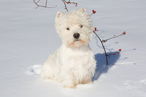 DOG 02 LS0007 01 © Kimball Stock West Highland Terrier Sitting In Snow