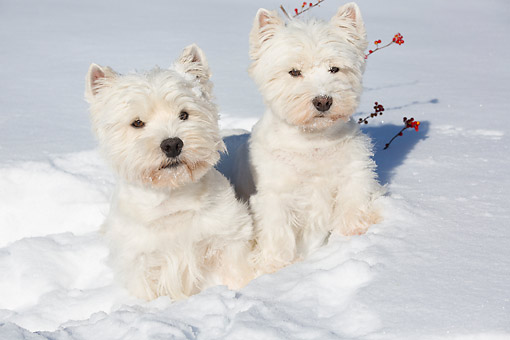 DOG 02 LS0008 01 © Kimball Stock Two West Highland Terriers Sitting In Snow