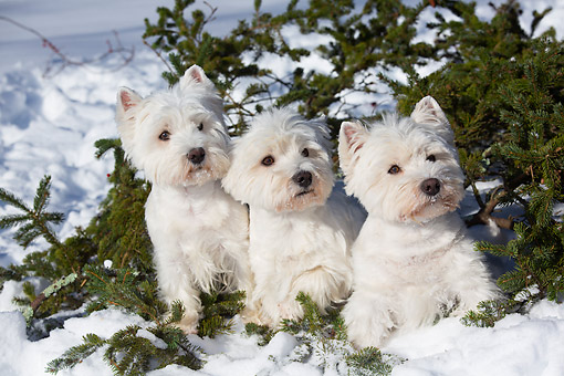 DOG 02 LS0009 01 © Kimball Stock Three West Highland Terriers Sitting In Snow