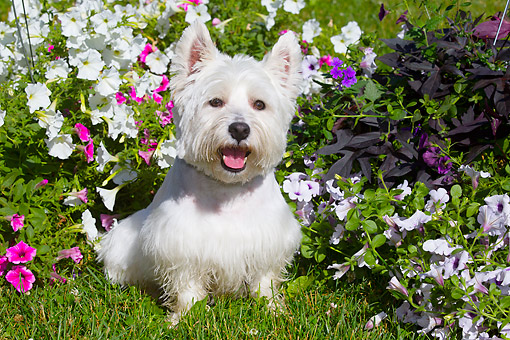 DOG 02 LS0010 01 © Kimball Stock West Highland Terrier Goofing Around In Flowers