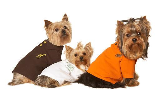 DOG 02 MQ0042 01 © Kimball Stock Three Yorkshire Terriers Wearing Shirts On White Seamless