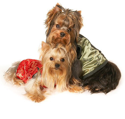 DOG 02 MQ0043 01 © Kimball Stock Two Yorkshire Terriers Wearing Silk Clothing On White Seamless