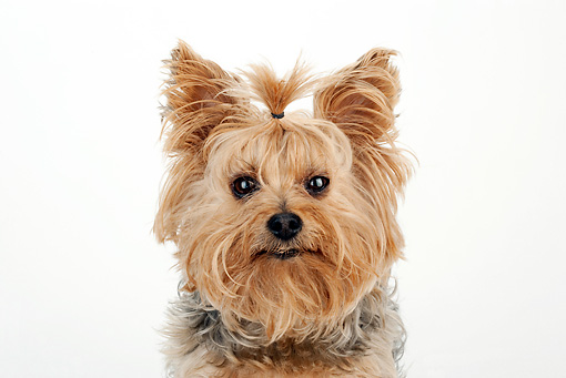 DOG 02 MR0021 01 © Kimball Stock Close-Up Of Yorkshire Terrier Sitting On White Seamless