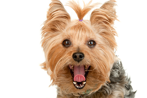 DOG 02 MR0022 01 © Kimball Stock Head Shot Of Yorkshire Terrier Yawning On White Seamless