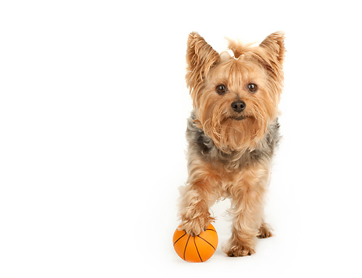 DOG 02 MR0023 01 © Kimball Stock Yorkshire Terrier Standing On White Seamless With Mini Basketball