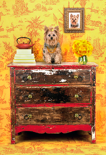 DOG 02 MR0024 01 © Kimball Stock Yorkshire Terrier Sitting On Dresser In Ornate Setting