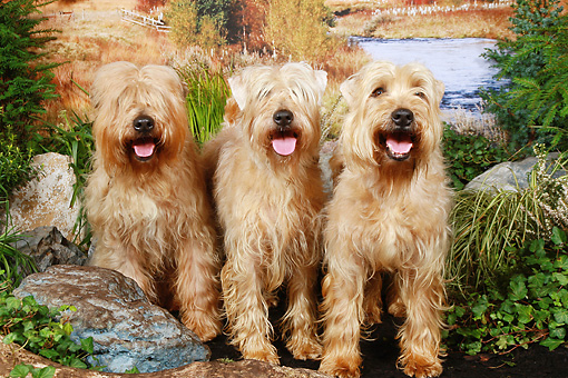 DOG 02 NR0032 01 © Kimball Stock Three Soft Coated Wheaten Terriers Sitting On Dirt By Rocks And Shrubs