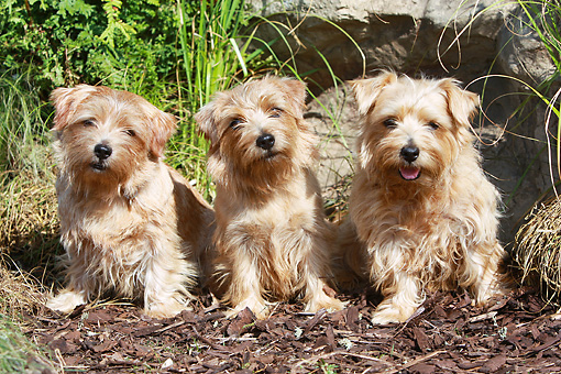 DOG 02 NR0040 01 © Kimball Stock Three Norfolk Terriers Sitting On Tan Bark By Rock And Shrubs