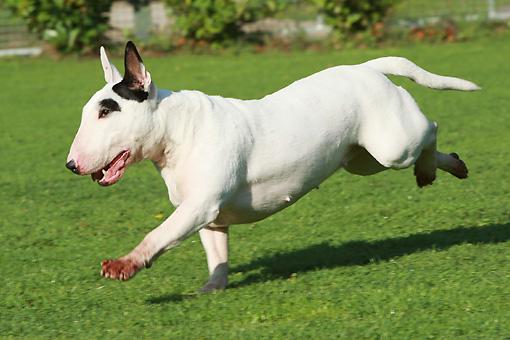 Resultado de imagen para bull terrier running