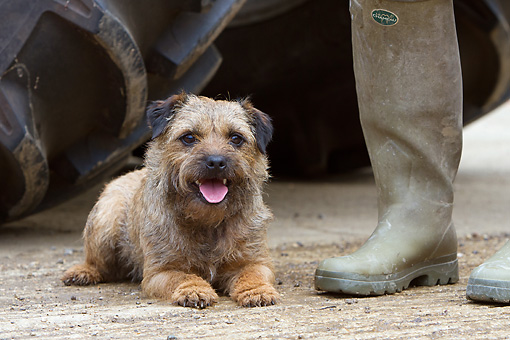 DOG 02 NR0048 01 © Kimball Stock Border Terrier Resting On Pavement By Owner's Feet