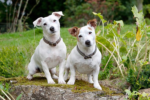 DOG 02 NR0050 01 © Kimball Stock Two Jack Russell Terriers Sitting On Moss Covered Rock