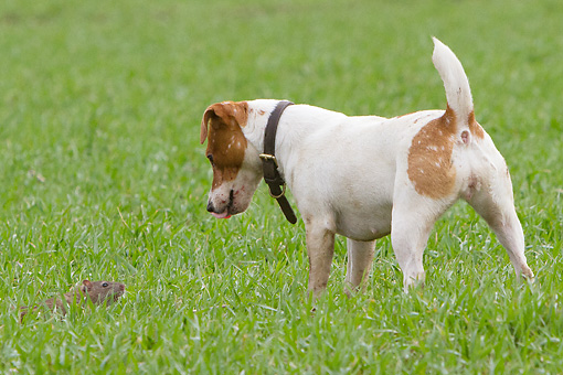 DOG 02 NR0051 01 © Kimball Stock Jack Russell Terrier Face To Face With Rat On Grass