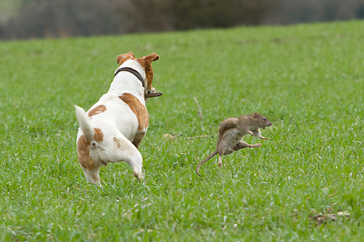 DOG 02 NR0052 01 © Kimball Stock Jack Russell Terrier Chasing Rat On Grass