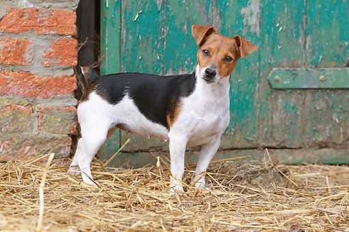 DOG 02 NR0053 01 © Kimball Stock Jack Russell Terrier Standing On Hay By Barn Door