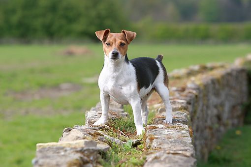 DOG 02 NR0054 01 © Kimball Stock Jack Russell Terrier Standing On Rock Wall