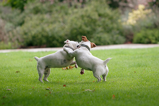 DOG 02 NR0058 01 © Kimball Stock Two Jack Russell Terriers Fighting On Grass