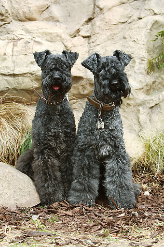DOG 02 NR0061 01 © Kimball Stock Two Kerry Blue Terriers Sitting On Bark By Rocks