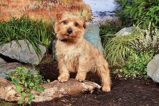 DOG 02 NR0062 01 © Kimball Stock Norwich Terrier Standing On Dirt By Pond