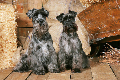 DOG 02 NR0064 01 © Kimball Stock Two Miniature Schnauzers Sitting On Wood Floor By Hay Bales