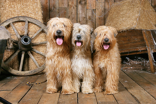 DOG 02 NR0065 01 © Kimball Stock Three Wheaten Terriers Standing On Wood Floor By Hay Bales