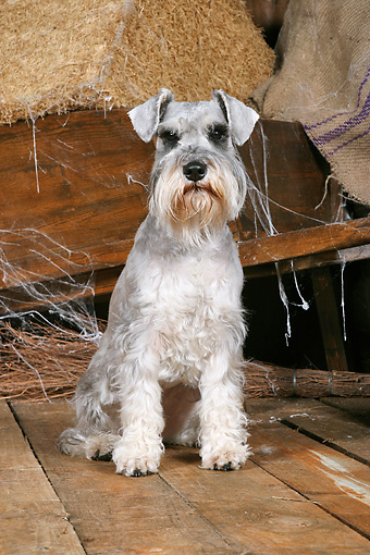 DOG 02 NR0066 01 © Kimball Stock Miniature Schnauzer Sitting On Wood Floor By Wheelbarrow And Hay