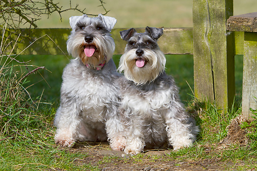 DOG 02 NR0074 01 © Kimball Stock Two Miniature Schnauzers Sitting By Wooden Fence