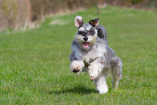 DOG 02 NR0076 01 © Kimball Stock Miniature Schnauzer Running Through Grass