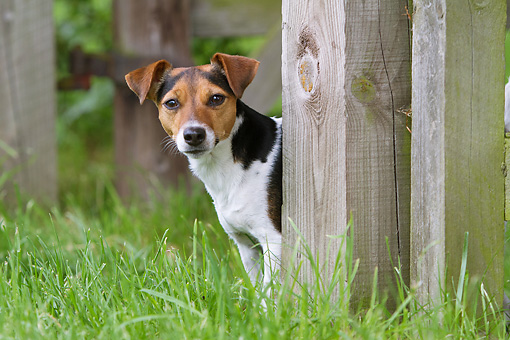 DOG 02 NR0079 01 © Kimball Stock Jack Russell Terrier Standing In Grass Behind Wooden Fence