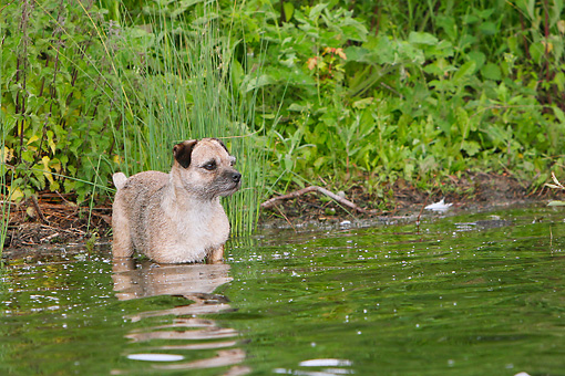 DOG 02 NR0084 01 © Kimball Stock Border Terrier Standing In Shallow Water