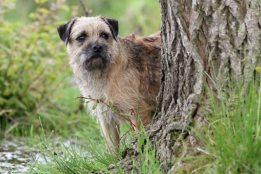 DOG 02 NR0086 01 © Kimball Stock Border Terrier Standing Behind Tree Trunk